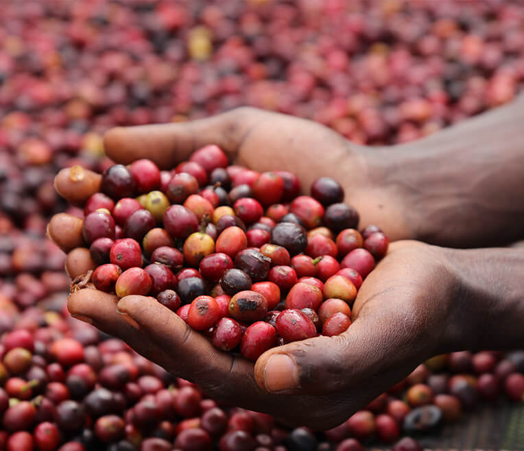 Coffee cultivation and regions