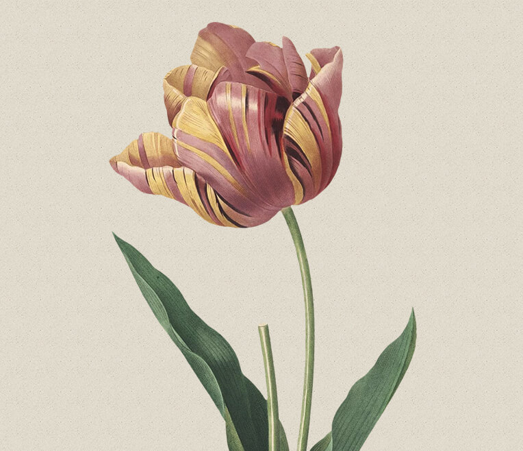 The »Tulip Mania« during the Golden Ages in the Netherlands