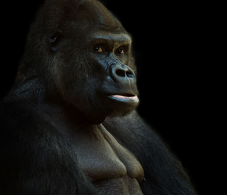 Fascination Gorillas – Living in the Jungles of Africa