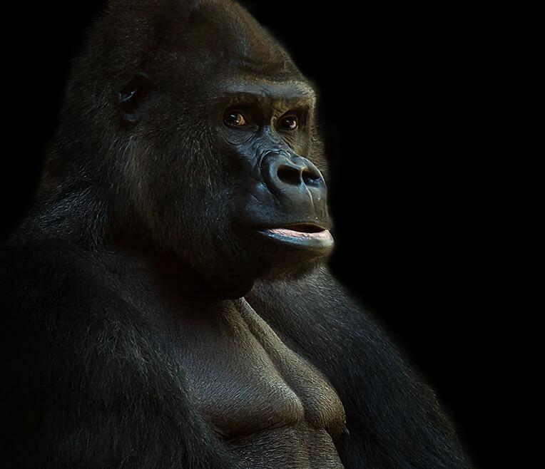 Faszination Gorillas – Leben in den Urwäldern Afrikas